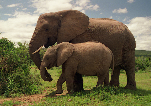 フリー画像| 動物写真| 哺乳類| 象/ゾウ| 親子/家族|