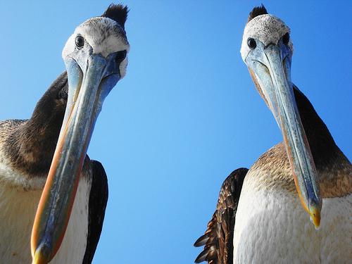 フリー画像  動物写真  鳥類  ペリカン 