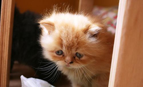 フリー画像| 動物写真| 哺乳類| ネコ科| 猫/ネコ| 子猫| ペルシャ猫|