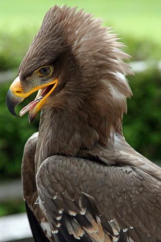 フリー画像| 動物写真| 鳥類| 猛禽類| 鷲/ワシ| ソウゲンワシ|