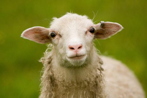 フリー画像| 動物写真| 哺乳類| 羊/ヒツジ| 子羊|