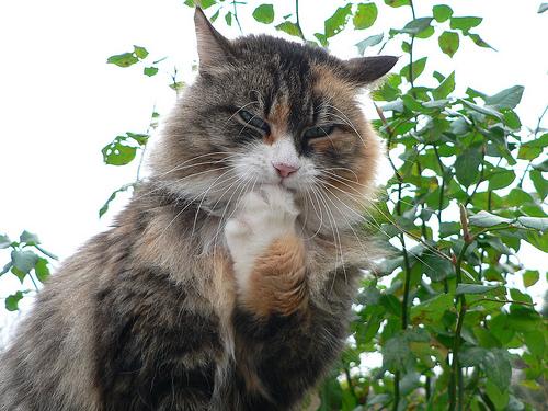 フリー画像| 動物写真| 哺乳類| ネコ科| 猫/ネコ| 考える/悩む| 三毛猫|