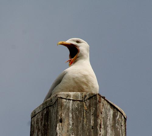 フリー画像| 動物写真| 鳥類| 野鳥| カモメ| 欠伸/あくび| 叫ぶ|