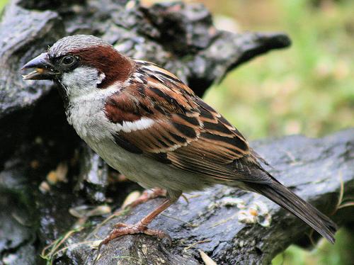 フリー画像| 動物写真| 鳥類| 野鳥| 雀/スズメ|