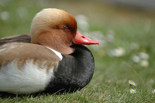 フリー画像| 動物写真| 鳥類| 野鳥| アカハシハジロ|