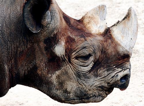 フリー画像| 動物写真| 哺乳類| 犀/サイ|        フリー素材|