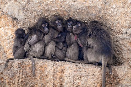 フリー画像|動物写真|哺乳類|猿/サル|ゲラダヒヒ|フリー素材|