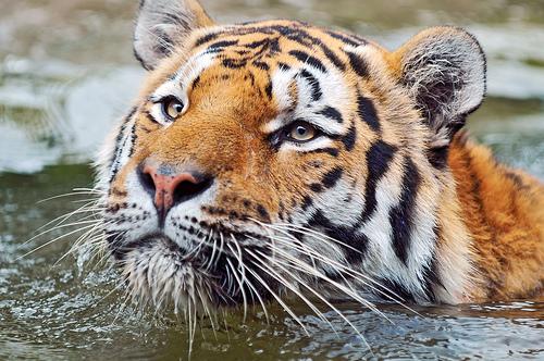 フリー画像| 動物写真| 哺乳類| ネコ科| 虎/トラ|       フリー素材|