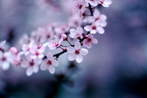 フリー画像  花/フラワー  桜/サクラ  ピンク/花         フリー素材 