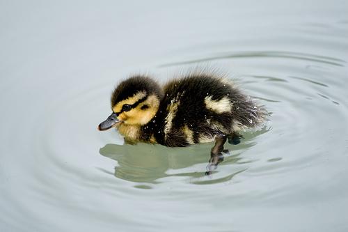 フリー画像| 動物写真| 鳥類| 鴨/カモ| 雛/ヒナ|       フリー素材|