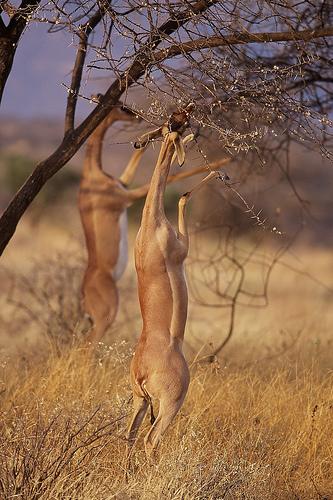 フリー画像| 動物写真| 哺乳類| ジェレヌク/ゲレヌク|        フリー素材|