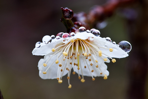 フリー画像  花/フラワー  梅/ウメ  雫/水滴         フリー素材 