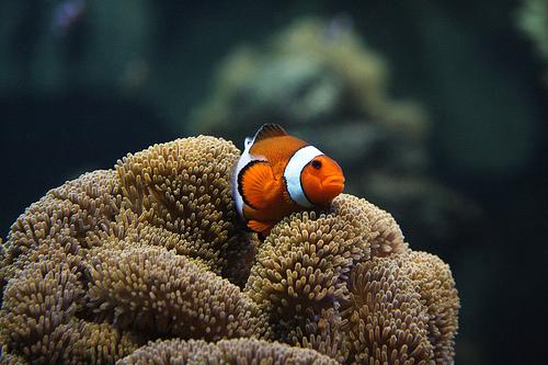 フリー画像  動物写真  魚類  カクレクマノミ/クラウンフィッシュ  イソギンチャク        フリー素材 