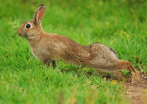 フリー画像| 動物写真| 哺乳類| 小動物| 兎/ウサギ| 背伸び/ストレッチ|      フリー素材|