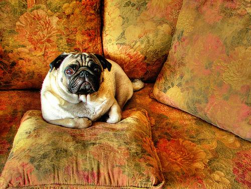 フリー画像| 動物写真| 哺乳類| イヌ科| 犬/イヌ| パグ|      フリー素材|