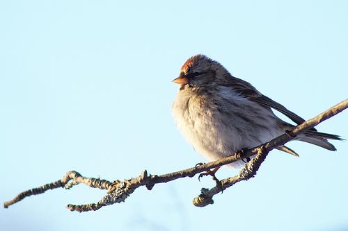 フリー画像| 動物写真| 鳥類| 野鳥| コベニヒワ|       フリー素材|