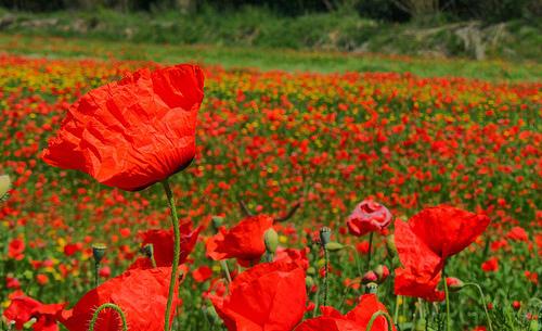 フリー画像| 自然風景| 花畑| 花/フラワー| 芥子/ケシ| レッド/花|      フリー素材|