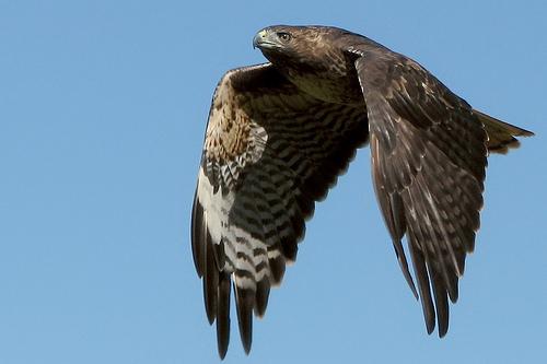 フリー画像| 動物写真| 鳥類| 猛禽類| 鷹/タカ| アカオノスリ|      フリー素材|