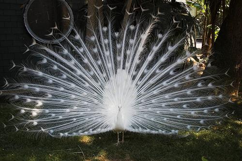 フリー画像| 動物写真| 鳥類| 孔雀/クジャク| シロクジャク| 求愛行動|      フリー素材|