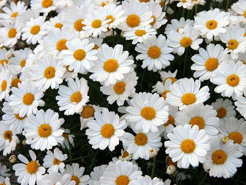 フリー画像| 花/フラワー| ヒナギク/デイジー | ホワイト/花|        フリー素材|