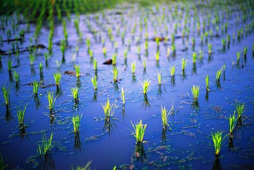 フリー画像| 自然風景| 田園風景| 田んぼ/水田| 稲/イネ|       フリー素材|