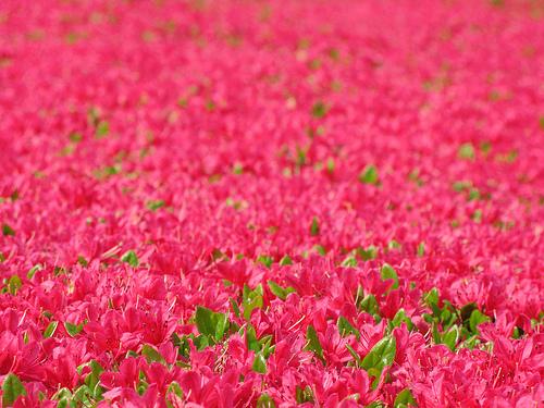 フリー画像|花/フラワー|花畑|ツツジ|レッド/花|赤色/レッド|フリー素材|
