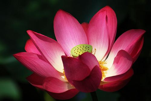 フリー画像| 花/フラワー| 蓮/ハス| レッド/花|        フリー素材|