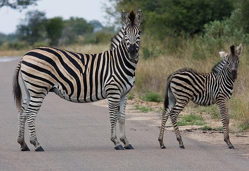 フリー画像| 動物写真| 哺乳類| 馬/ウマ| シマウマ| 親子/家族|      フリー素材|