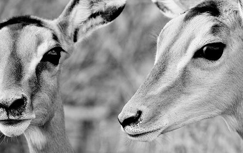 フリー画像| 動物写真| 哺乳類| インパラ| モノクロ写真|       フリー素材|