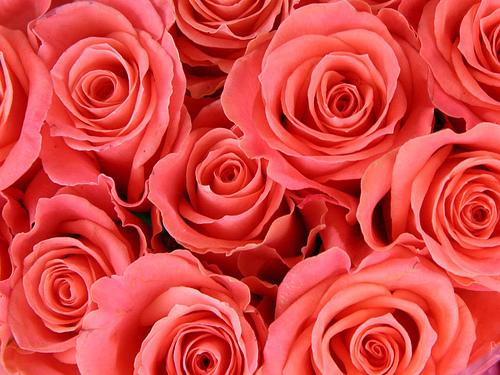 フリー画像| 花/フラワー| 薔薇/バラ| 赤色/レッド| レッド/花|       フリー素材|