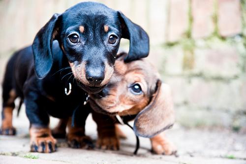 フリー画像| 動物写真| 哺乳類| イヌ科| 犬/イヌ| 子犬| ミニチュアダックスフンド|     フリー素材|