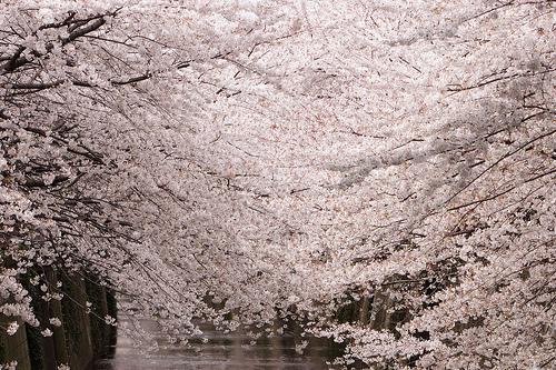 フリー画像|花/フラワー|桜/サクラ|桃色/ピンク|ピンク/花|フリー素材|