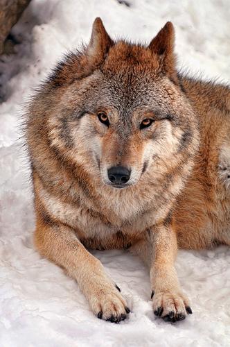 フリー画像| 動物写真| 哺乳類| 狼/オオカミ|        フリー素材|