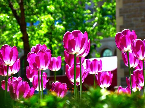 フリー画像| 花/フラワー| チューリップ| ピンク/花|        フリー素材|