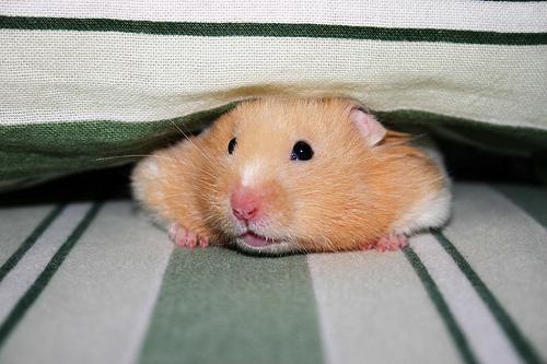 フリー画像| 動物写真| 哺乳類| ネズミ上科| ハムスター|       フリー素材|