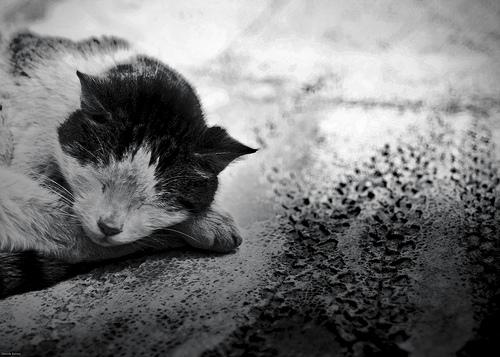 フリー画像| 動物写真| 哺乳類| ネコ科| 猫/ネコ| 寝顔/寝相/寝姿| モノクロ写真|     フリー素材|