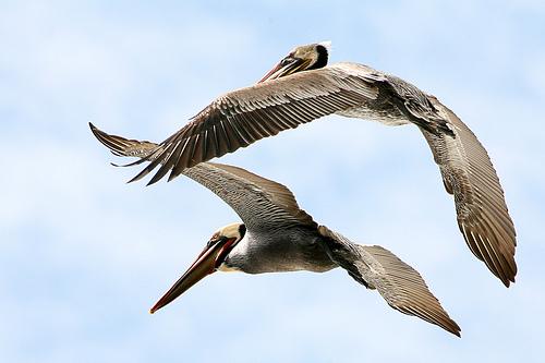 フリー画像| 動物写真| 鳥類| 野鳥| ペリカン| カッショクペリカン|      フリー素材|