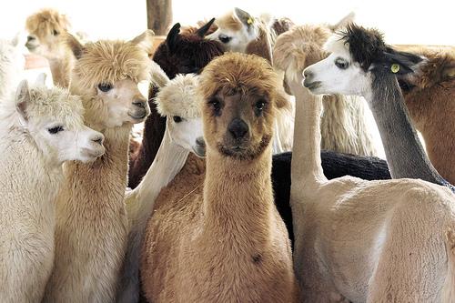 フリー画像| 動物写真| 哺乳類| アルパカ|        フリー素材|