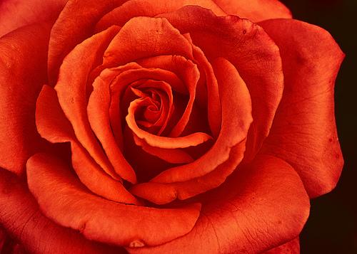 フリー画像| 花/フラワー| 薔薇/バラ| レッド/花|        フリー素材|