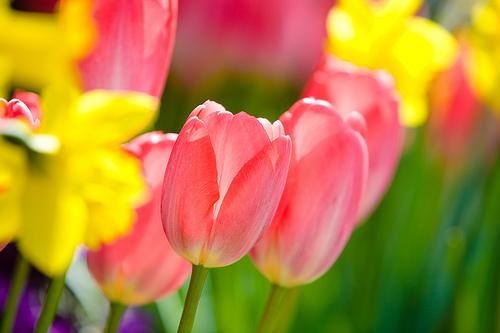 フリー画像  花/フラワー  チューリップ  レッド/花         フリー素材 
