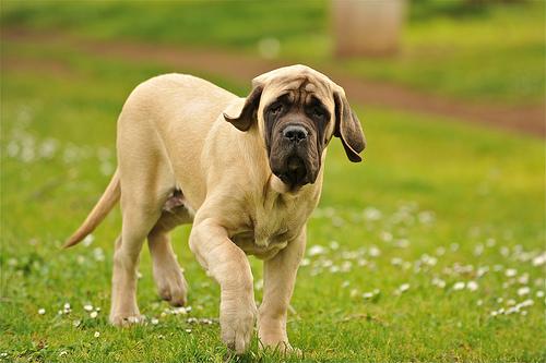 フリー画像  動物写真  哺乳類  イヌ科  犬/イヌ  マスティフ       フリー素材 