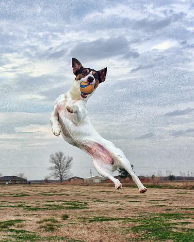 フリー画像| 動物写真| 哺乳類| イヌ科| 犬/イヌ| ジャック・ラッセル・テリア| 跳ぶ/ジャンプ|     フリー素材|