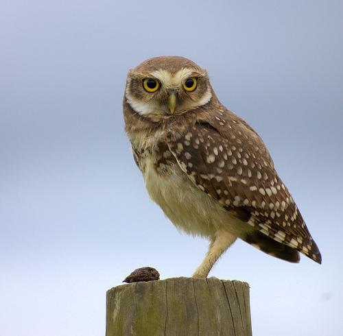 フリー画像| 動物写真| 鳥類| 猛禽類| 梟/フクロウ| アナホリフクロウ|      フリー素材|