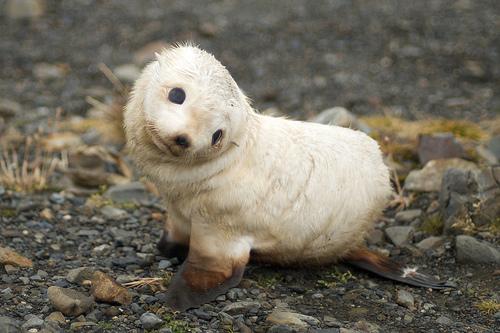 フリー画像| 動物写真| 哺乳類| オットセイ| 赤ちゃんオットセイ|       フリー素材|