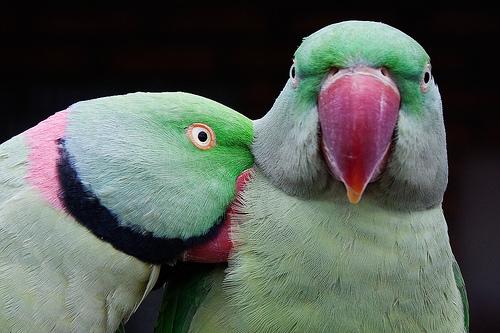 フリー画像| 動物写真| 鳥類| インコ科| ホンセイインコ|       フリー素材|