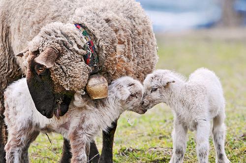 フリー画像| 動物写真| 哺乳類| 羊/ヒツジ| 親子/家族| 子ヒツジ|      フリー素材|