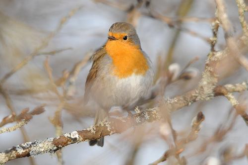 フリー画像| 動物写真| 鳥類| 野鳥| コマドリ|       フリー素材|