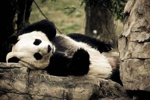 フリー画像|動物写真|哺乳類|ジャイアントパンダ|フリー素材|