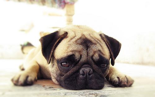 フリー画像| 動物写真| 哺乳類| イヌ科| 犬/イヌ| 子犬| パグ|     フリー素材|