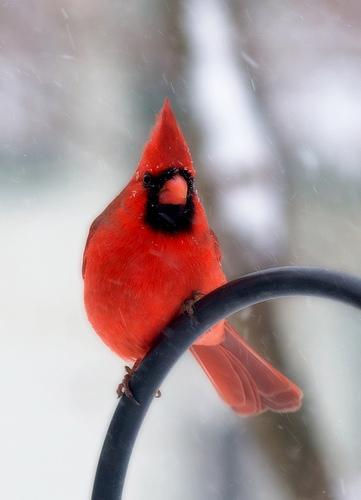 フリー画像| 動物写真| 鳥類| 野鳥| ショウジョウコウカンチョウ|       フリー素材|